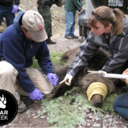 How to Become a Bear Biologist // Backpacker Magazine